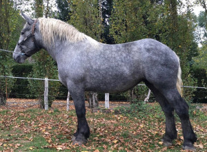GALINA DU FOUR COUPE - trait percheron